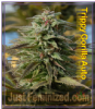 Big Head Trippy Gorilla Auto Fem 5 Ganja Seeds